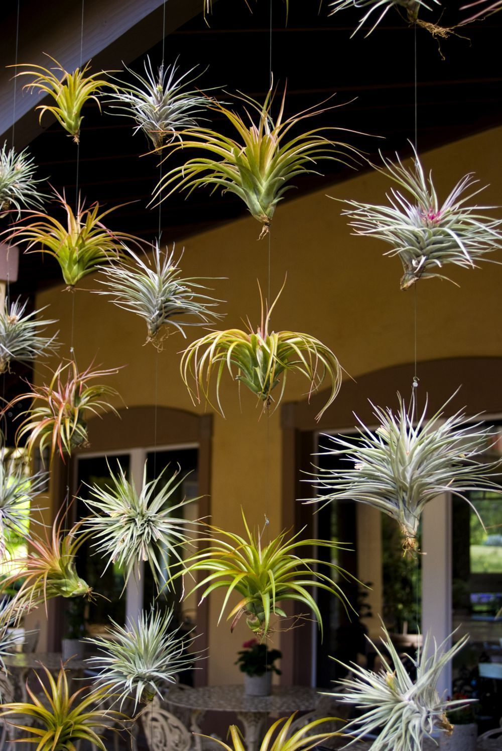 Air plants suspended on fishing line air plants are a