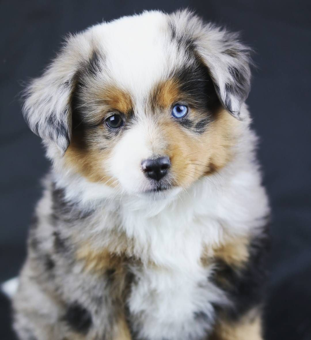 My beautiful mini Australian Sheppard Eli ) Want want