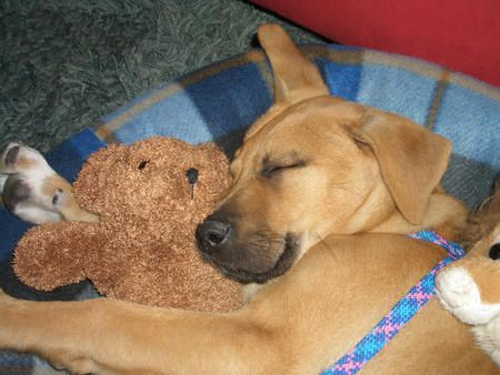 Rhodesian Lab Mix Puppy Sleeping With The Teddies Lab Mix