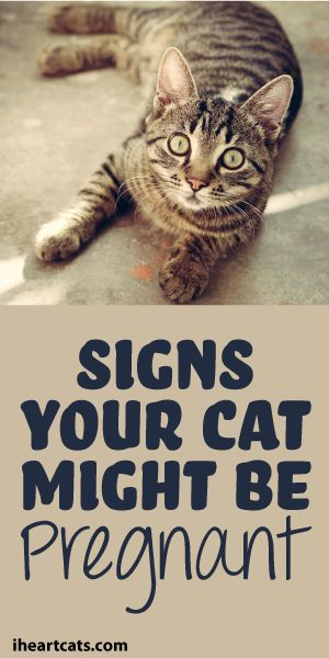 Signs Your Cat Might Be Pregnant Pregnant cat, Pregnant