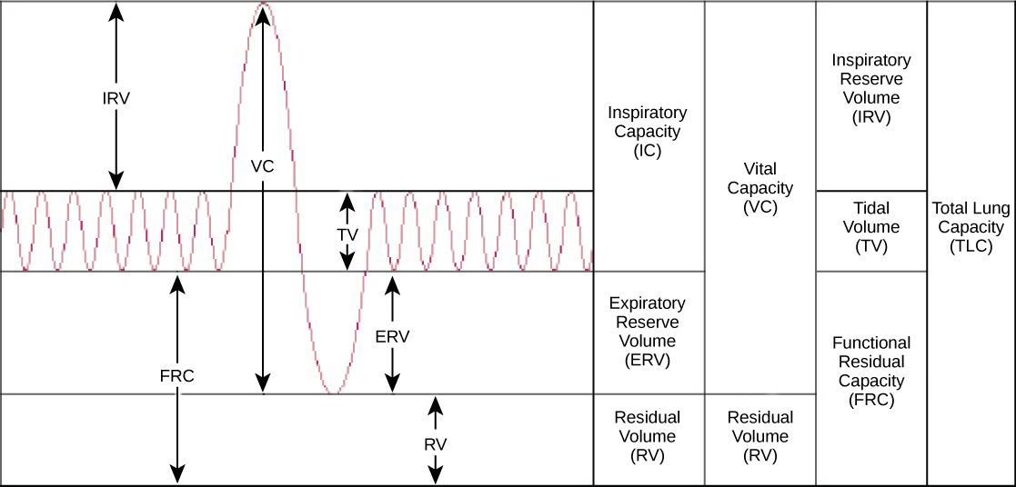 Lung Volumes Google Search Volume And Capacity Doctors Note Respiratory Therapy Student
