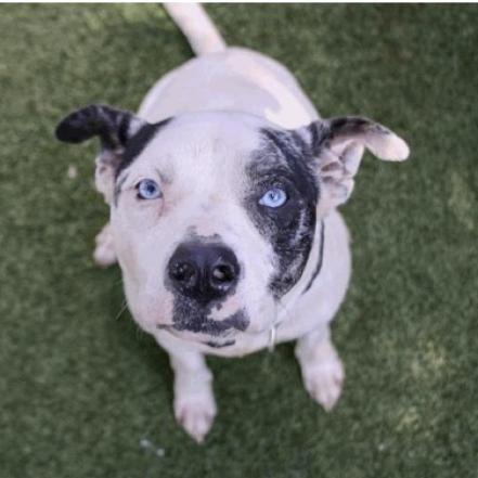 Adopt Allie on Pitbull terrier, Terrier mix dogs, Bull