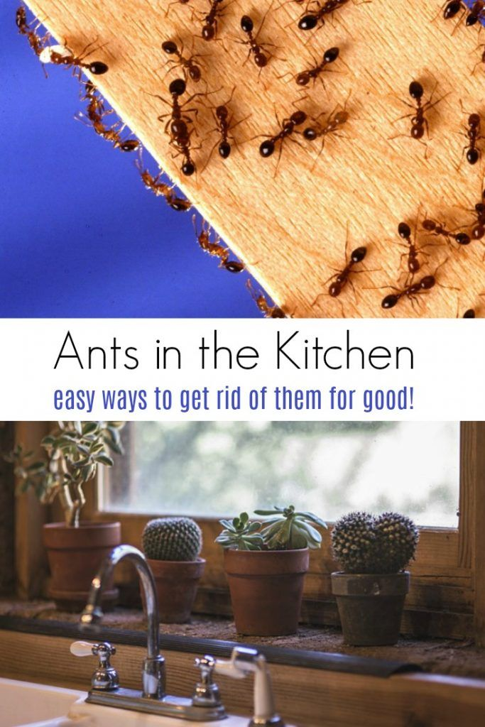 How to Get Rid of Ants in the Kitchen (With images)   Rid ...