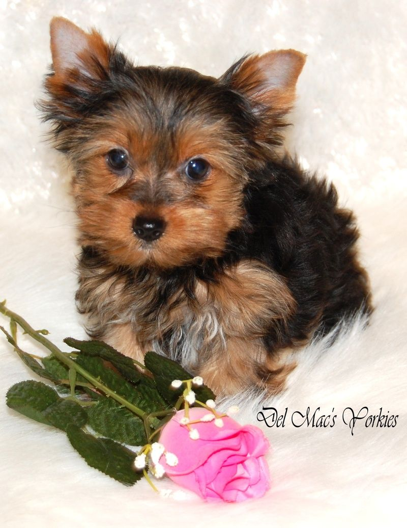 Yorkshire terrier pups for sale cheshire