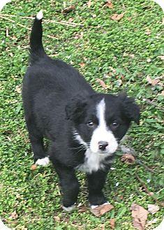 Overland Park Ks Border Collie Mix Meet Vicki A Puppy For