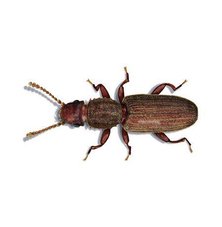 Getreideplattkafer Lat Oryzaephilus Surinamensis Insekten Schadlinge Spinne