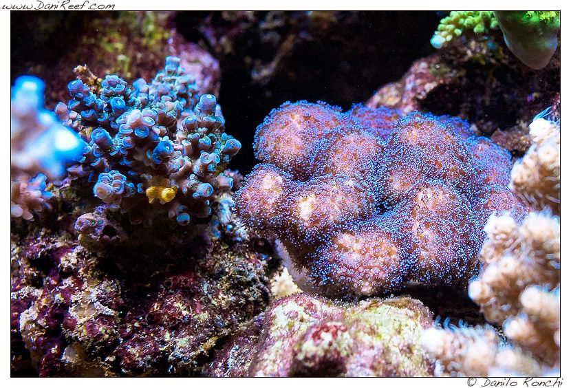 Coral Gallery Under Orphek Reef Aquarium LED • Orphek LED Light