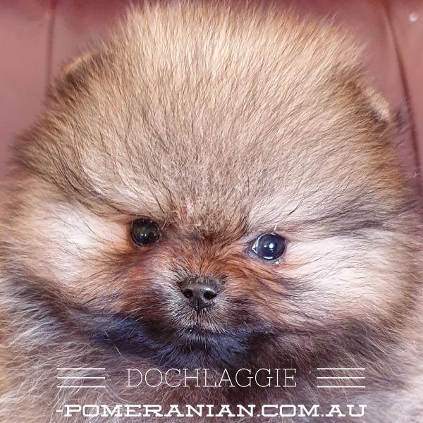 Dochlaggie Pomeranian Puppies Melbourne Dochlaggie Dochlaggiepomeranians Pomeranians Pomeranian Pomeraniandog Pomeranian Pomeranian Puppy Puppies