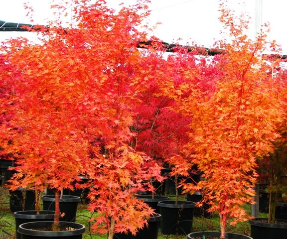 japanese maple sango kaku acer palmatum sango kaku fall color acer palmatum sango kaku. Black Bedroom Furniture Sets. Home Design Ideas