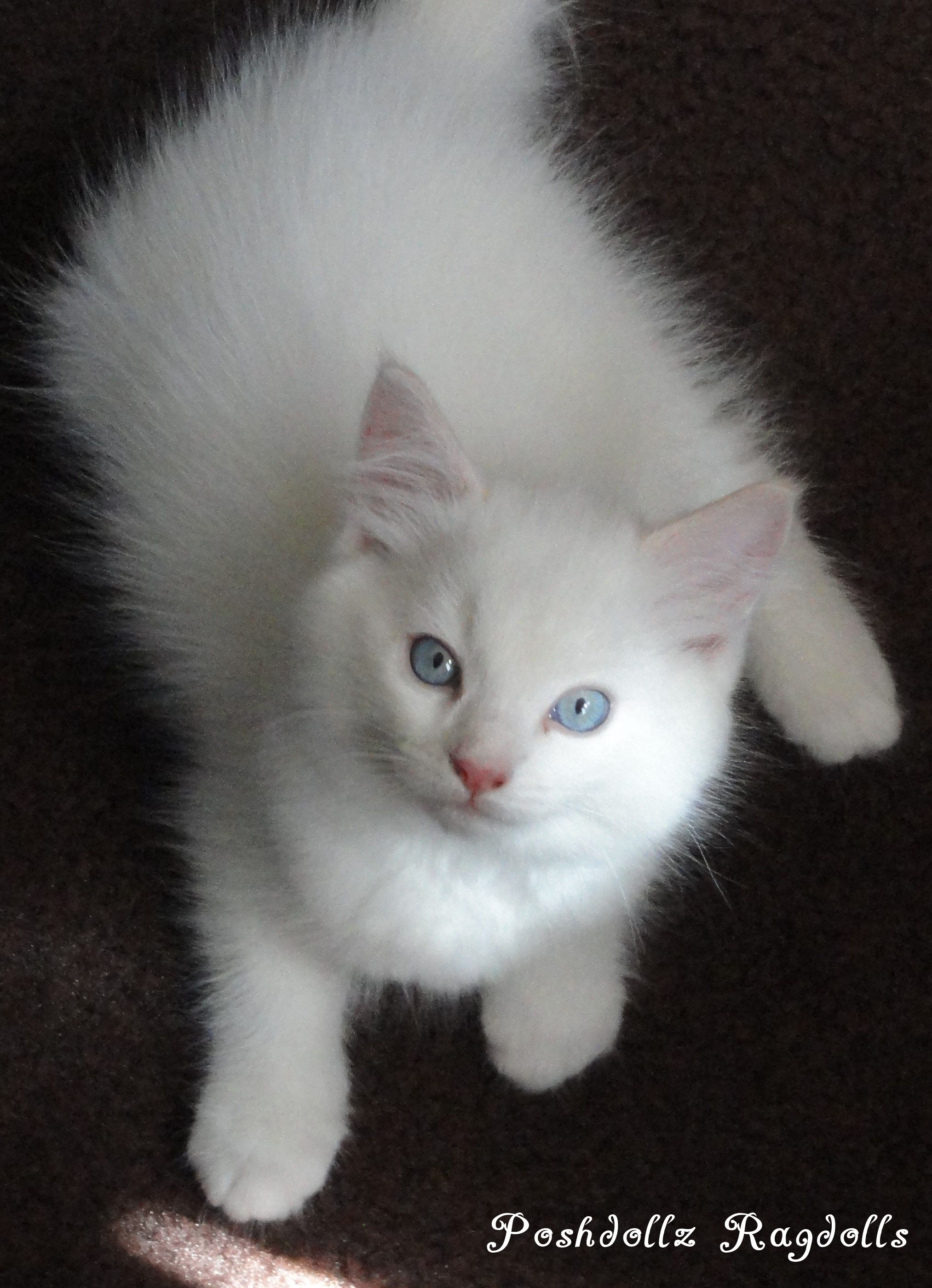 Flame Point Mitted Ragdoll Kitten