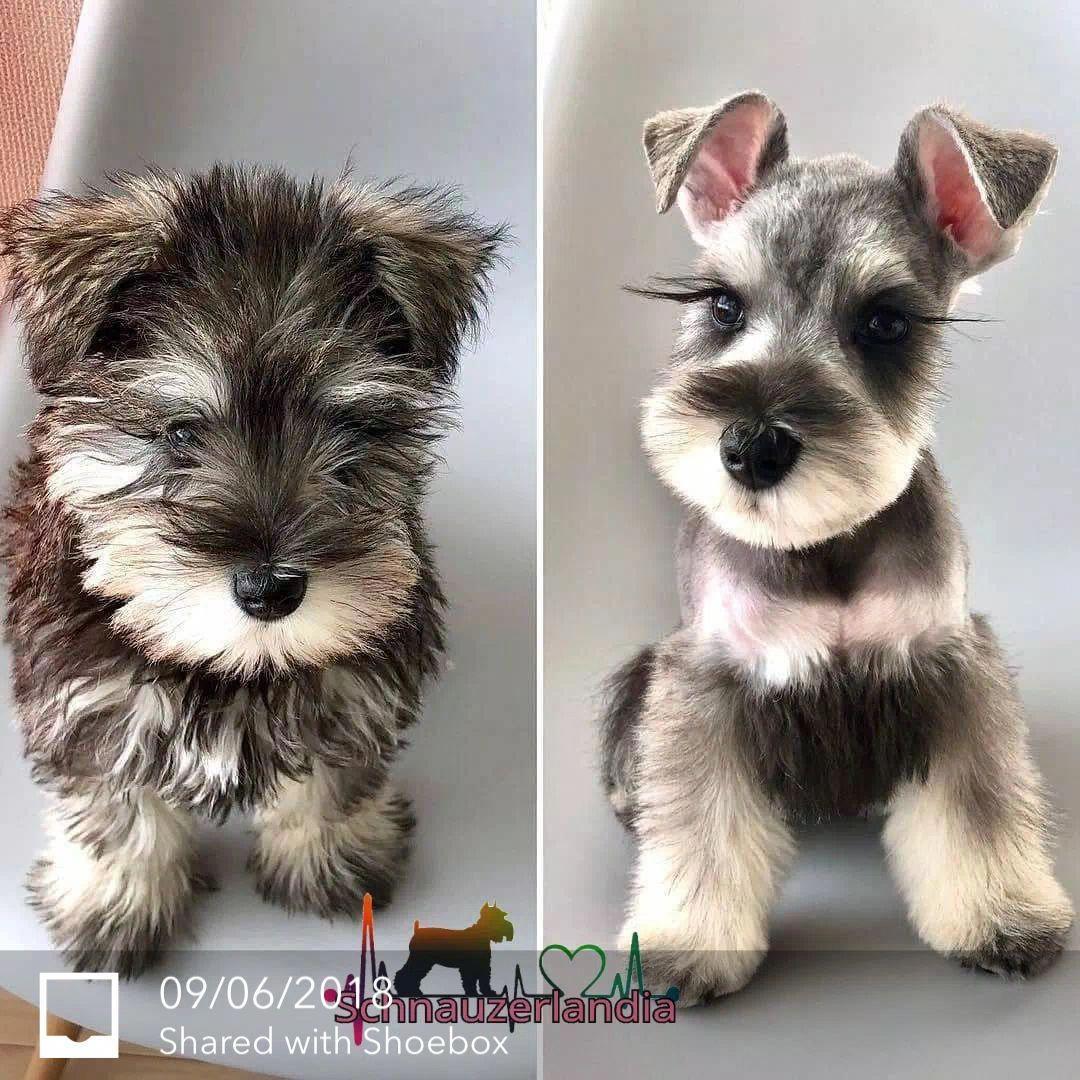 Miniature Schnauzer – Smart and Obedient  Schnauzer puppy