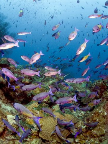 School of Creole Wrasse (Clepticus Parrae), St. Lucia, West Indies, Caribbean, Central America