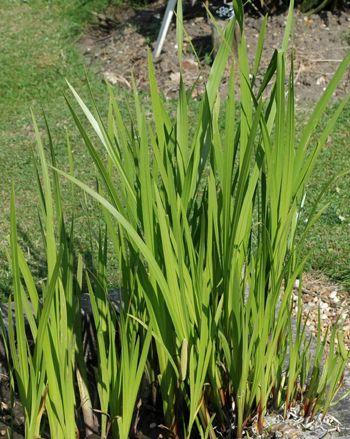 Sweet Flag Medicinal Herb Info Healing Plants Plants Medicinal Plants