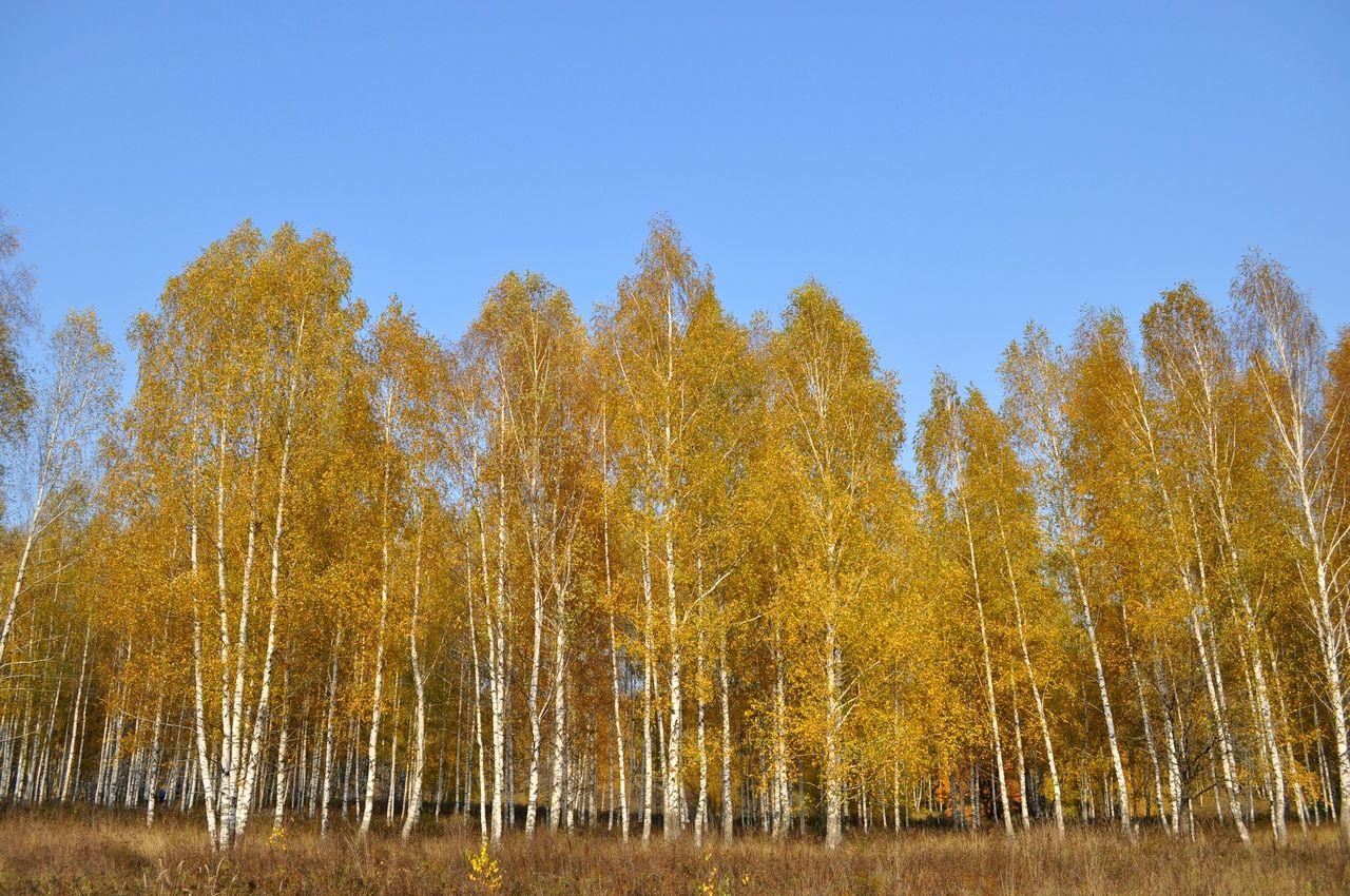 картинки березовая роща золотая осень самой вершине горы