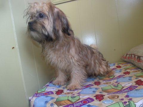 Shorkie Tzu puppy for sale in PATERSON, NJ. ADN47135 on