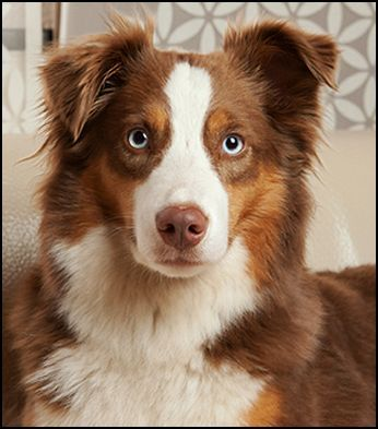 Blue Eyed Brown Tri Aussie Australian Shepherd Colors