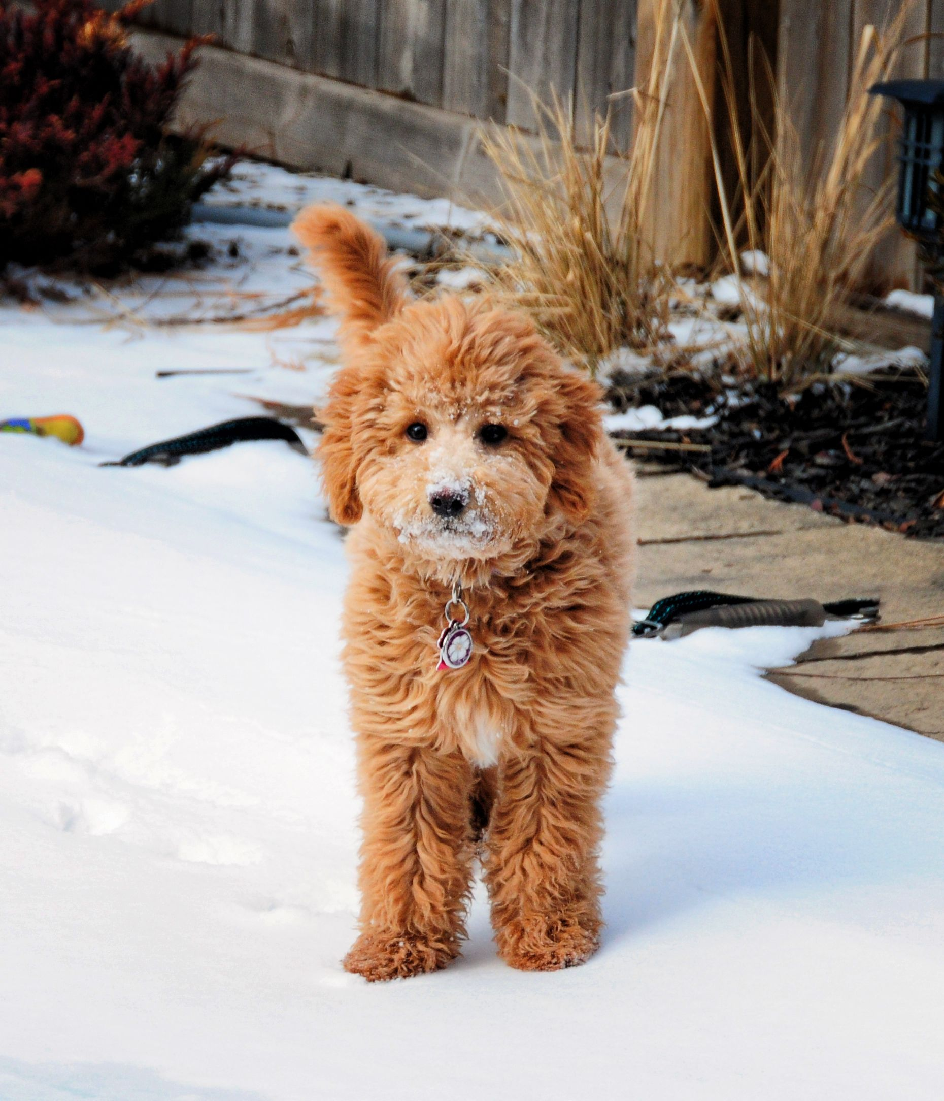 Zolo the Mini Goldendoodle F1b Goldendoodle puppy