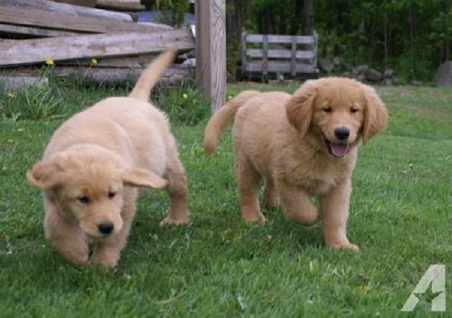 Takoda Dogs Kennel Lily Bear Golden Retriever Puppies Dog Kennel