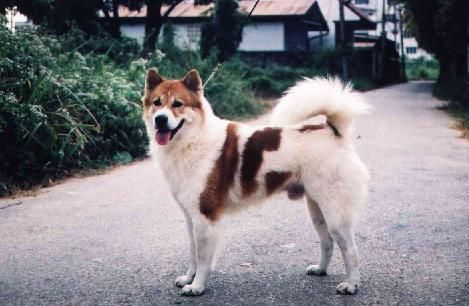 The Thai Bangkaew Dog Is An Asian Dog Breed It Is A Medium Sized Spitz Type Dog