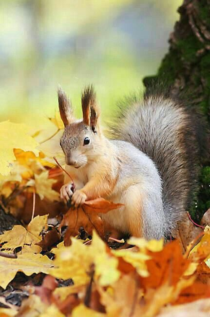 Squirrel in Autumn leaves! ♥