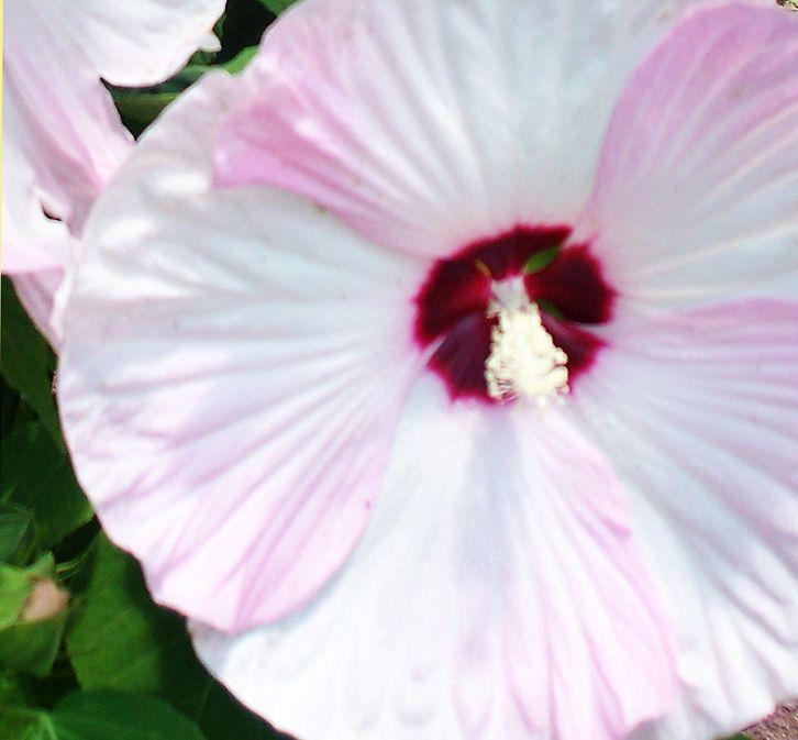 my hybiscus with hibiscus de jardin persistant. Black Bedroom Furniture Sets. Home Design Ideas