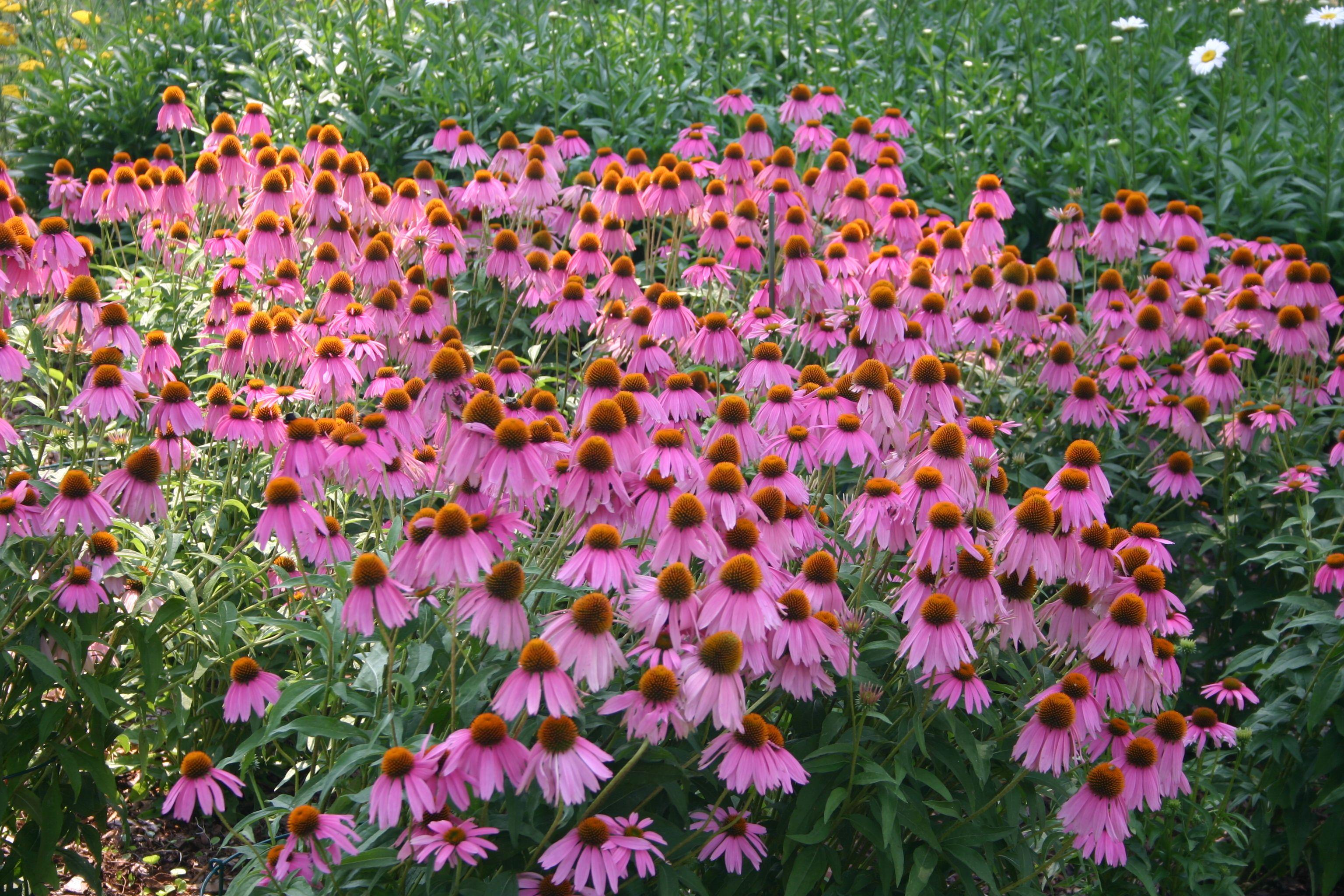 echinacea purpurea standort anspr che volle sonne in feuchtem boden jedoch ohne staun sse. Black Bedroom Furniture Sets. Home Design Ideas