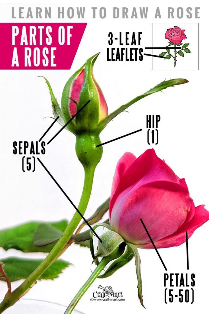 How to draw a rose stepbystep guide for beginners Rose