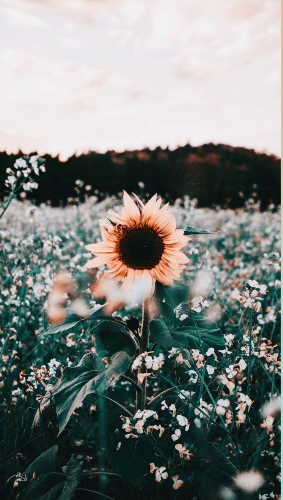 You Re My Sunflower Sunflower Wallpaper Flower Iphone Wallpaper Cute Wallpaper Backgrounds