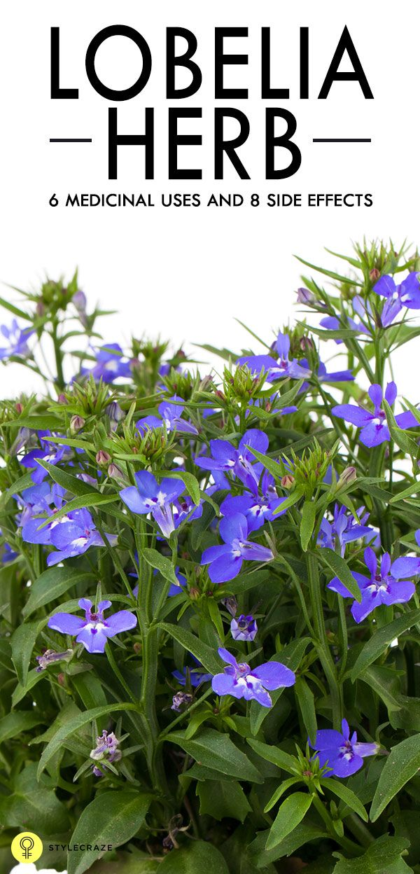 6 Medicinal Uses And 8 Side Effects Of Lobelia Herb Herbs