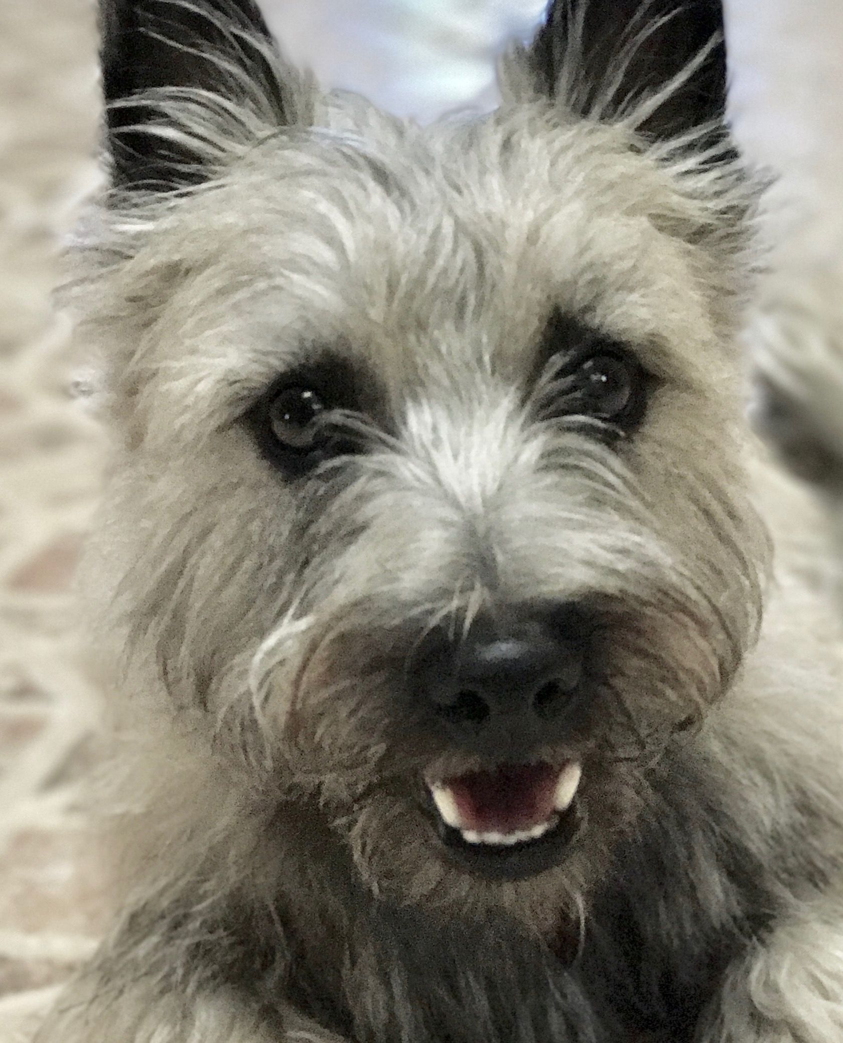 10 Month Old Toto Cairn Terrier Cairn Terrier Terrier Dogs Terrier