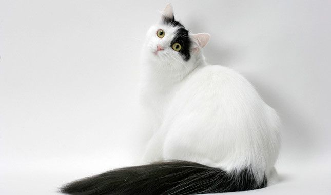 Turkish Van Cat Breed Information Turkish Van Cats Turkish Van