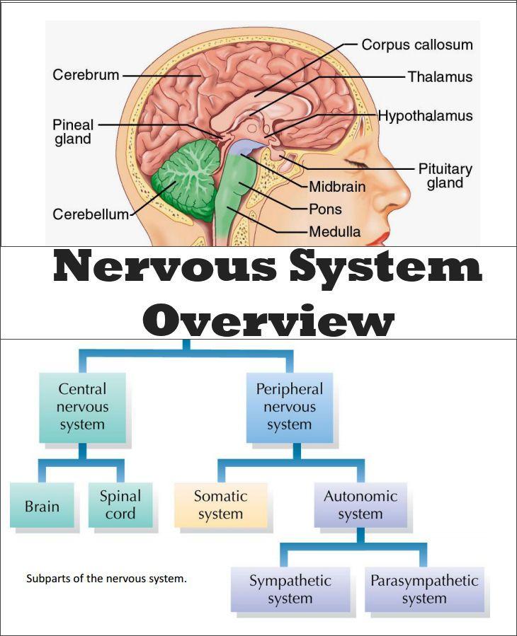 CHSH-Teach - Brain Nervous System Neuroscience Teaching ...