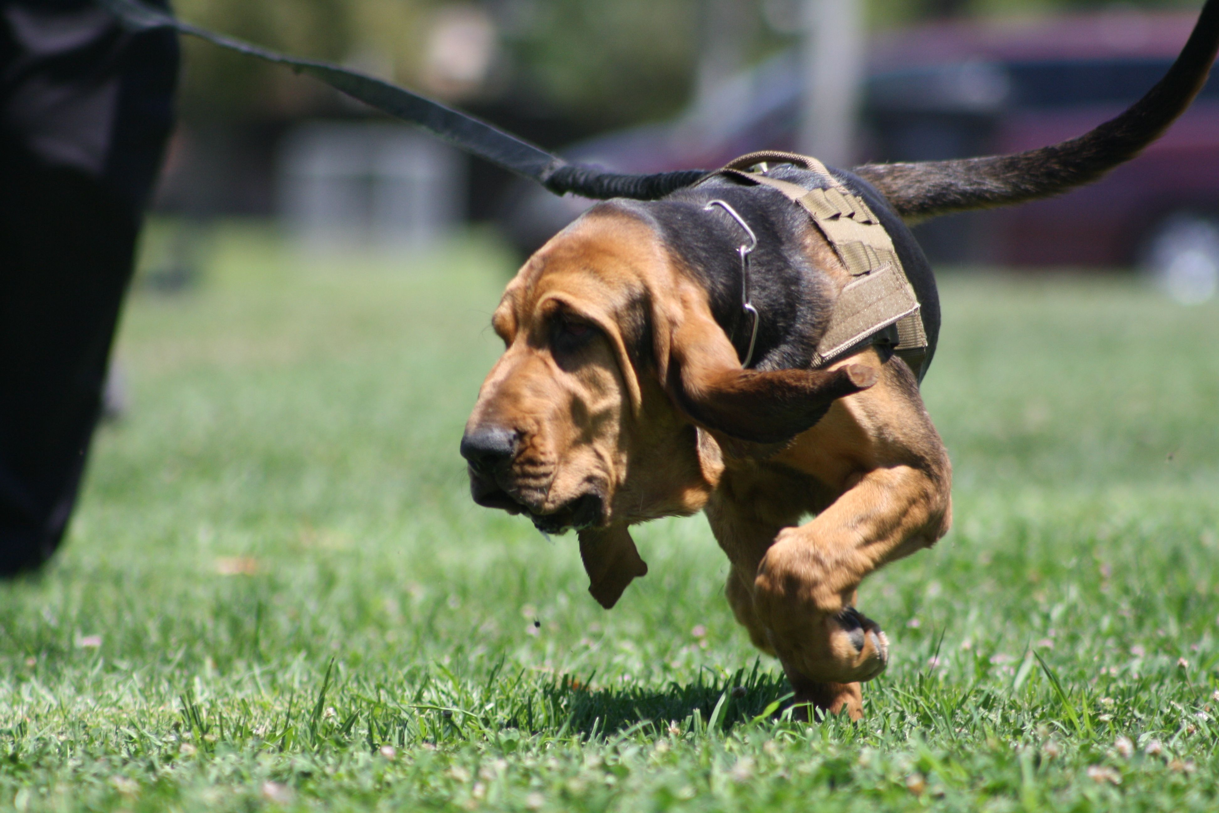 Robert Took This Picture In Training Bloodhound Puppy Learning To