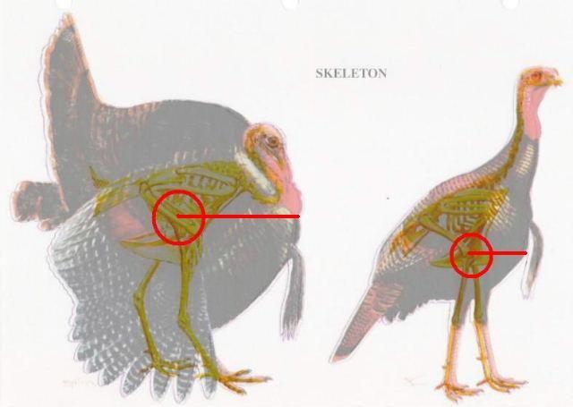 turkey kill zone for bow hunters : talkin' turkey • general