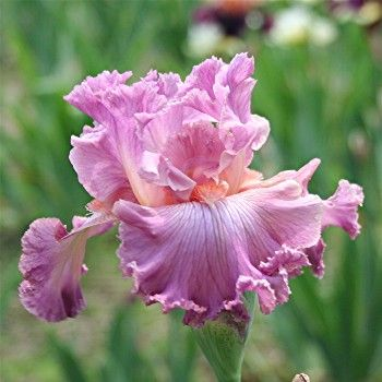irises - really pink pink - SOCIAL GRACES - Tall Bearded - 38""