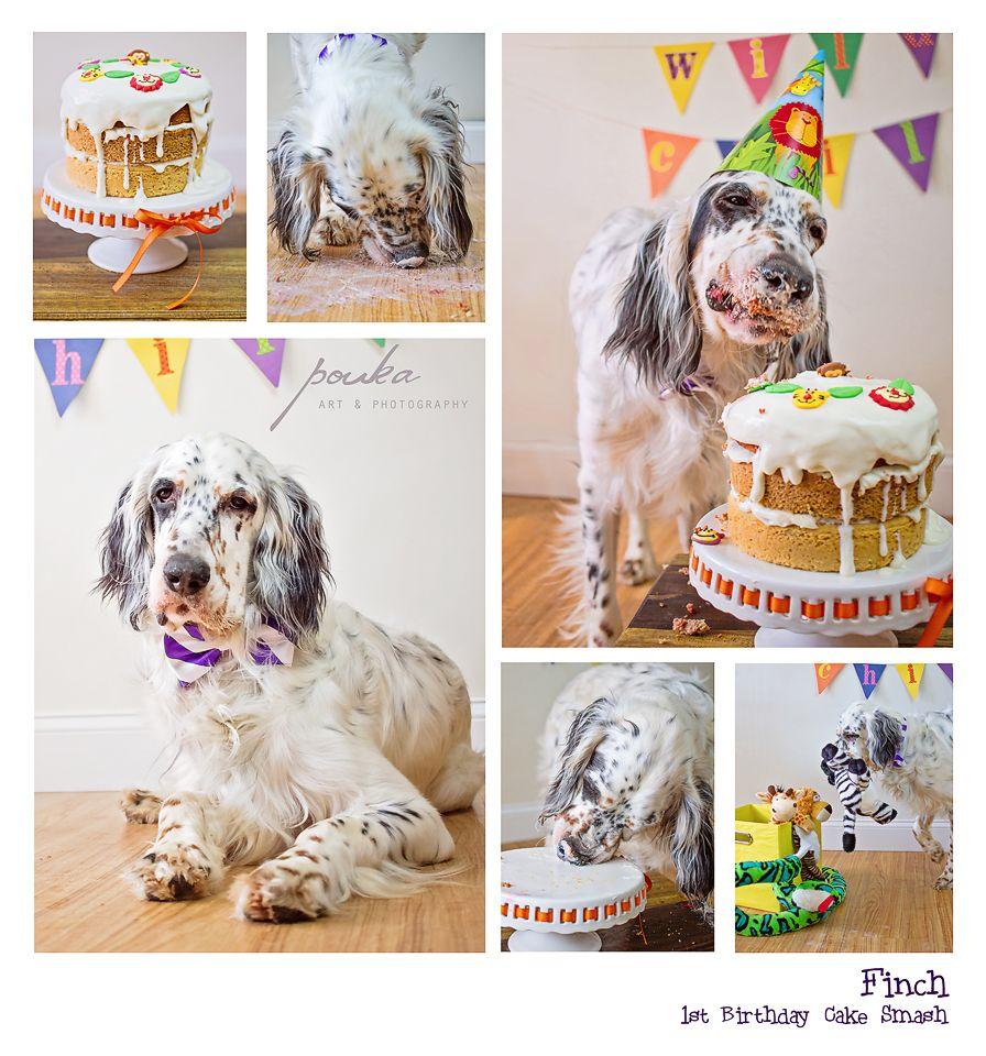 English Setter puppy 1st birthday cake smash Dog cake smash