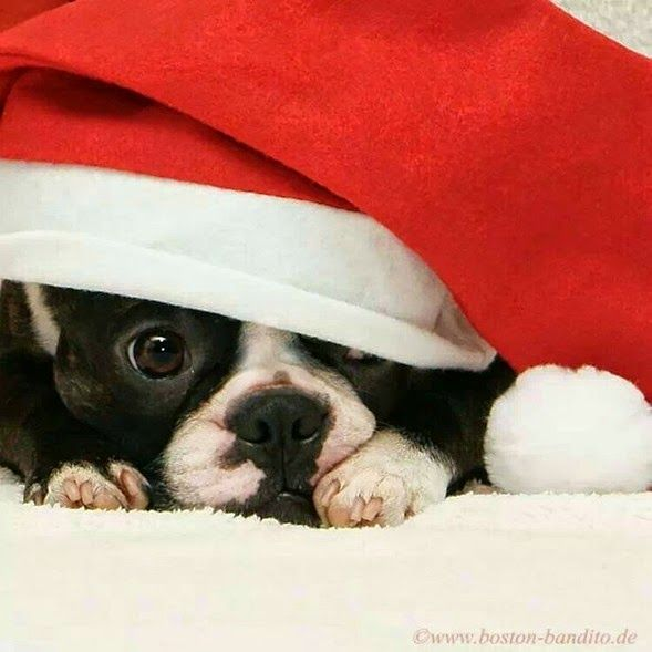 Northeast Boston Terrier Rescue We Wish You A Merry Christmas Boston Terrier Christmas Boston Terrier Boston Terrier Lover