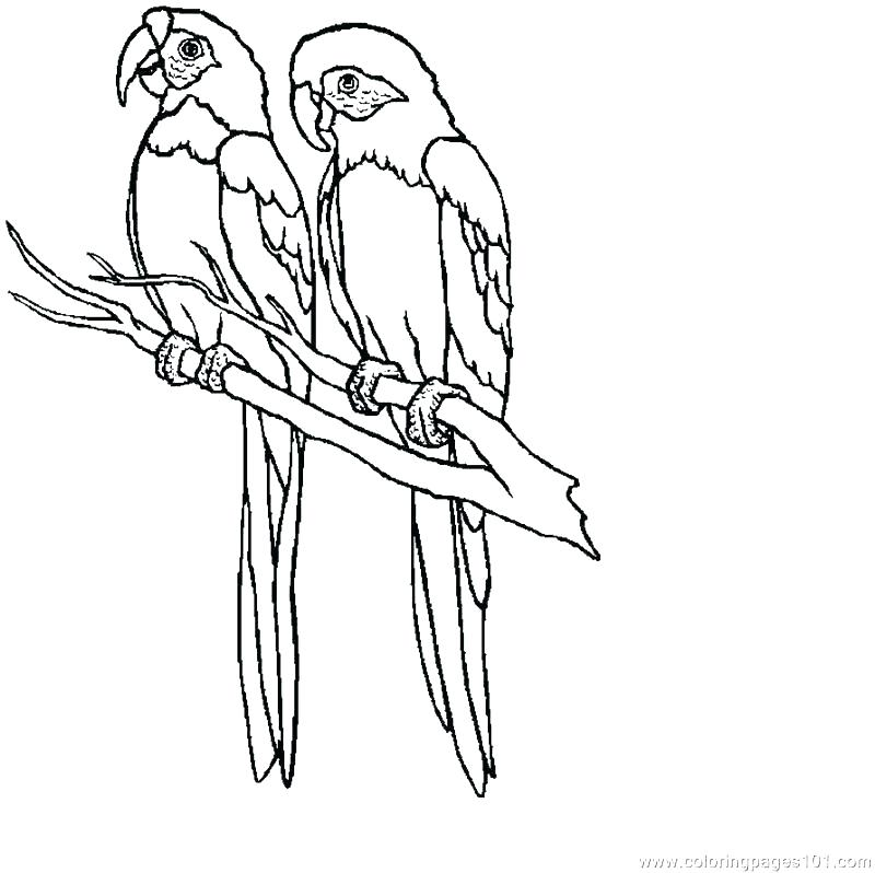 Parrots Drawing Drawing Parrots Parrot Picture To Color Parrot Coloring Page Media How To Draw Parrot Step By Parrot Drawing Bird Coloring Pages Coloring Pages