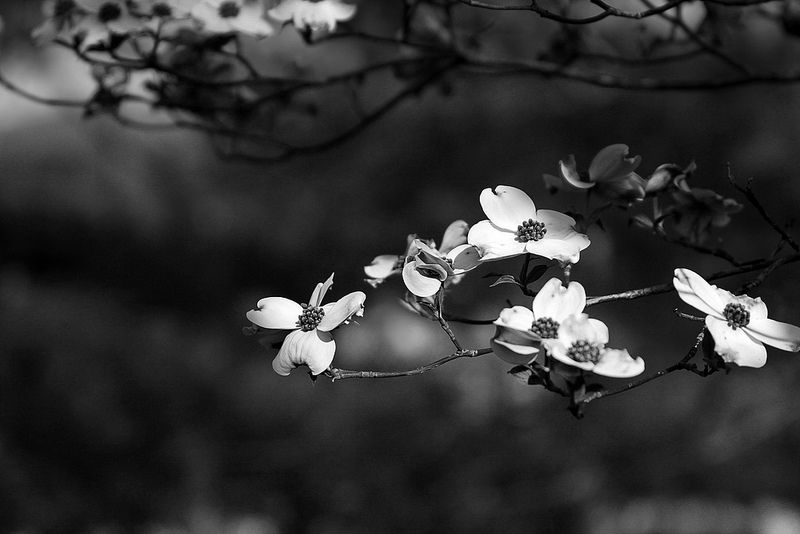 Dogwood | by Virginia Bailey Photography