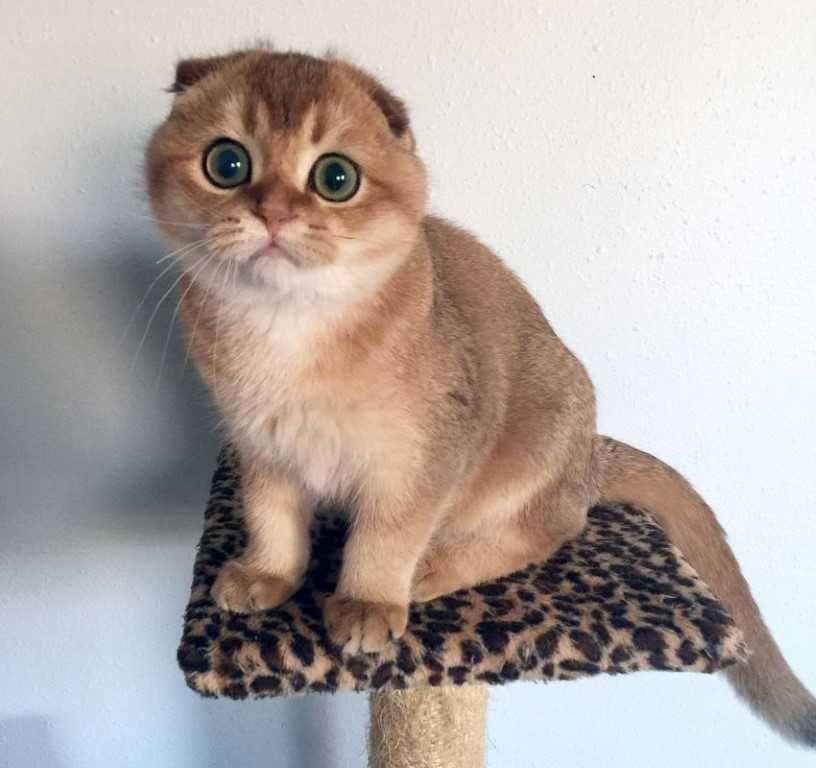 The Scottish Fold Cat With Images Cat Scottish Fold