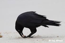 Znalezione obrazy dla zapytania raven