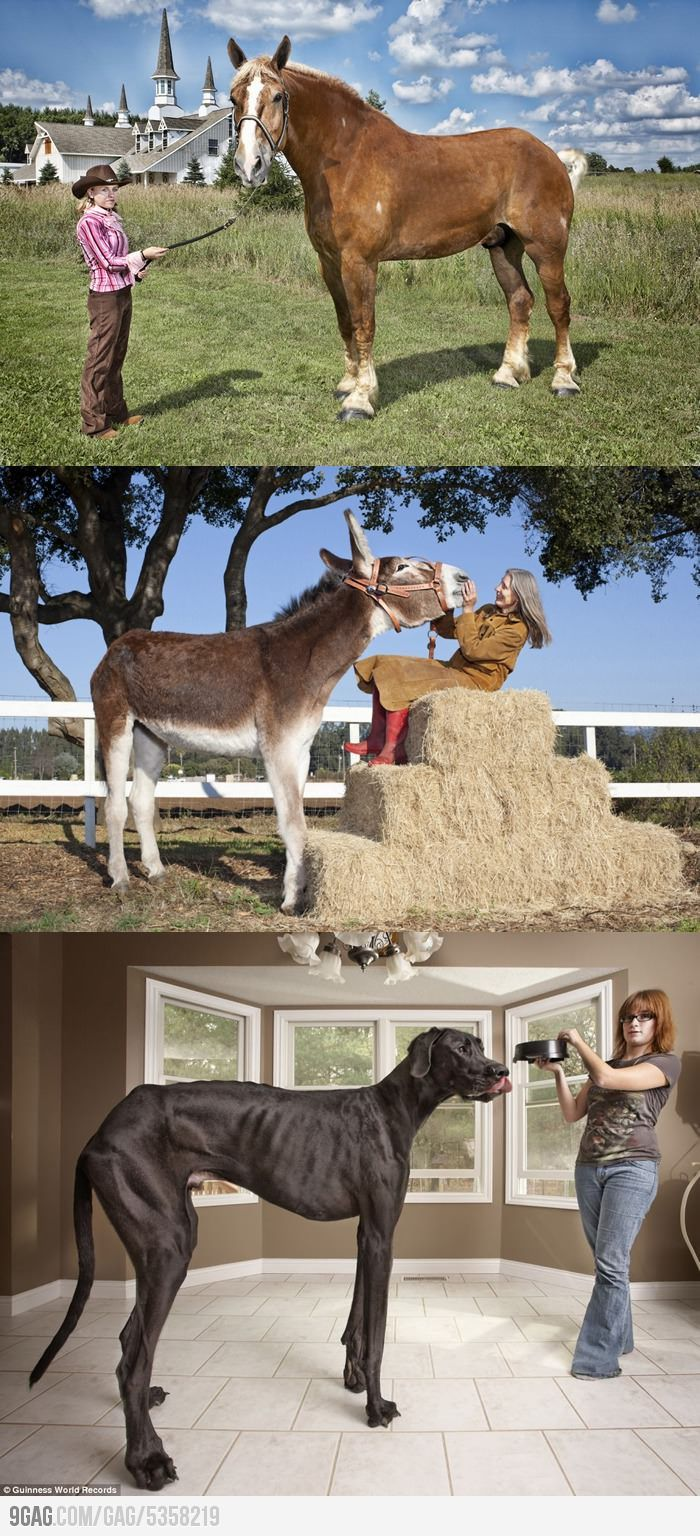 The tallest horse, donkey and dog in the world. Horses