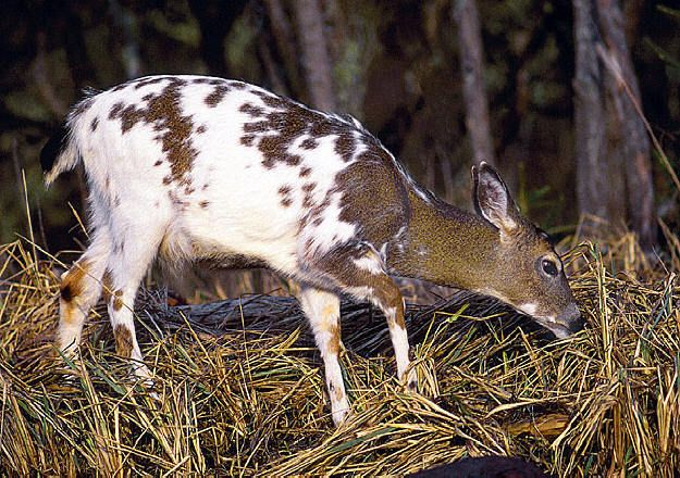 Piebald Deer Albino Moose Rare Albino Animals Scary Animals