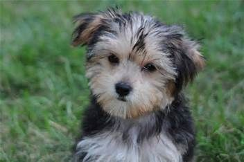 Full Grown Yorkie Poo Amy Chomas New Puppy Post Yorkie Poo Full Grown Yorkie Poo Dogs
