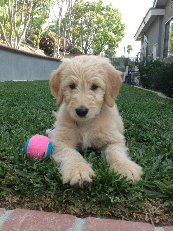 goldendoodle! Baby wild animals, Puppies and kitties
