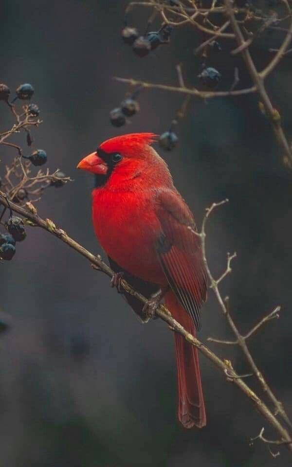 Pin By Pilar On Nature Cardinal Birds Bird Wallpaper Beautiful Birds