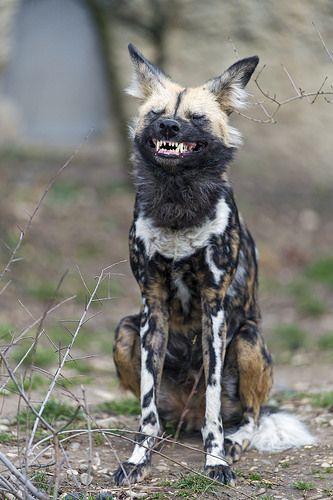 African Wild Dog Finishing To Yawn Dog Yawning African Wild Dog