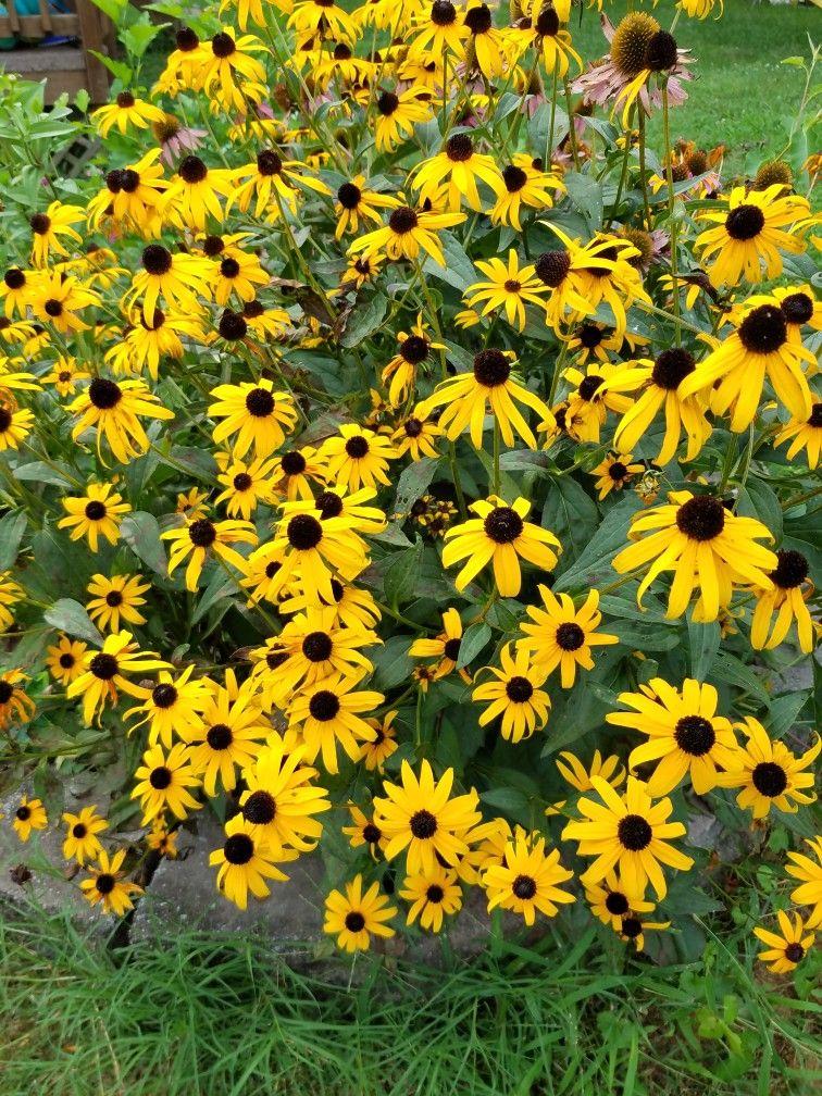 Black eyed susans | Black eyed susan, Planting flowers