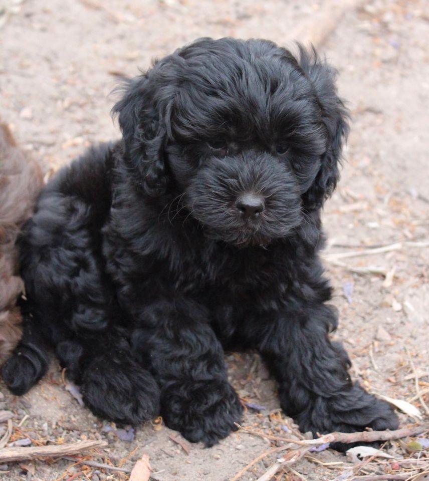 labradoodle dogs cute black Pinterest