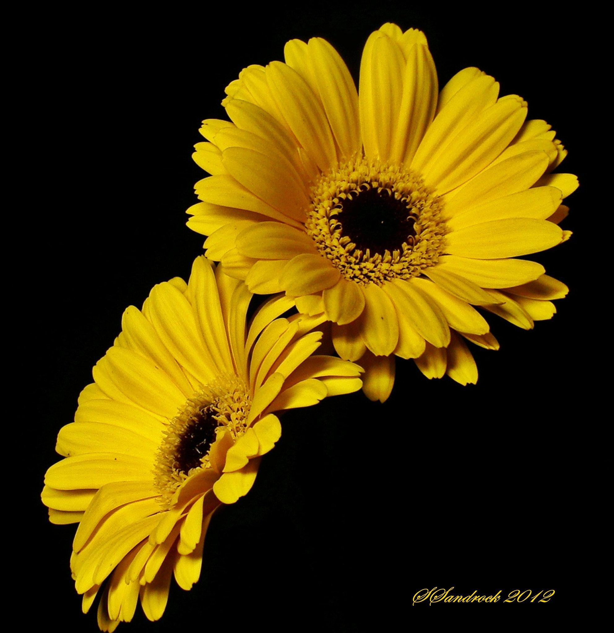 Yellow Gerbera Flower Gerbera Flower Flowers Black Background Gerbera